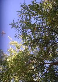 baumvogel