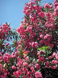 rabat oleander