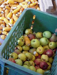 herbst äpfel