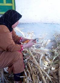 herbst mais schälen
