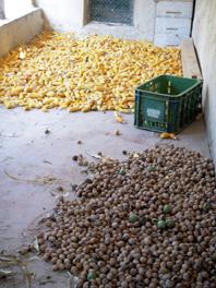 herbst mais und nüsse