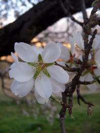 mandelblüte 2