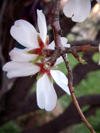 mandelblüte v hinten