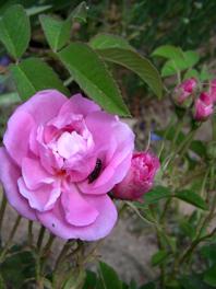 garten 6.13 rose