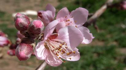 spring pfirsich