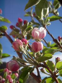 garden applerose