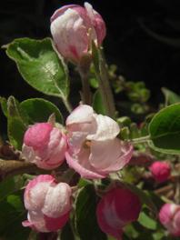 garden rosaapple