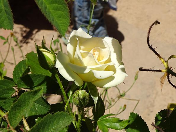 blumen rose weiss