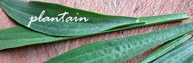 krauter plantain